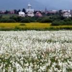 dolina-narcissov-v-zakarpate