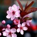 Божественная сакура: символ Японии
