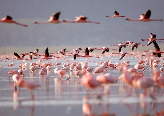 Розовые фламинго в Кении